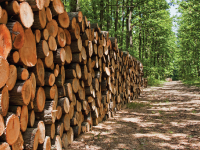 Timber Harvest and Sales- St. Louis County