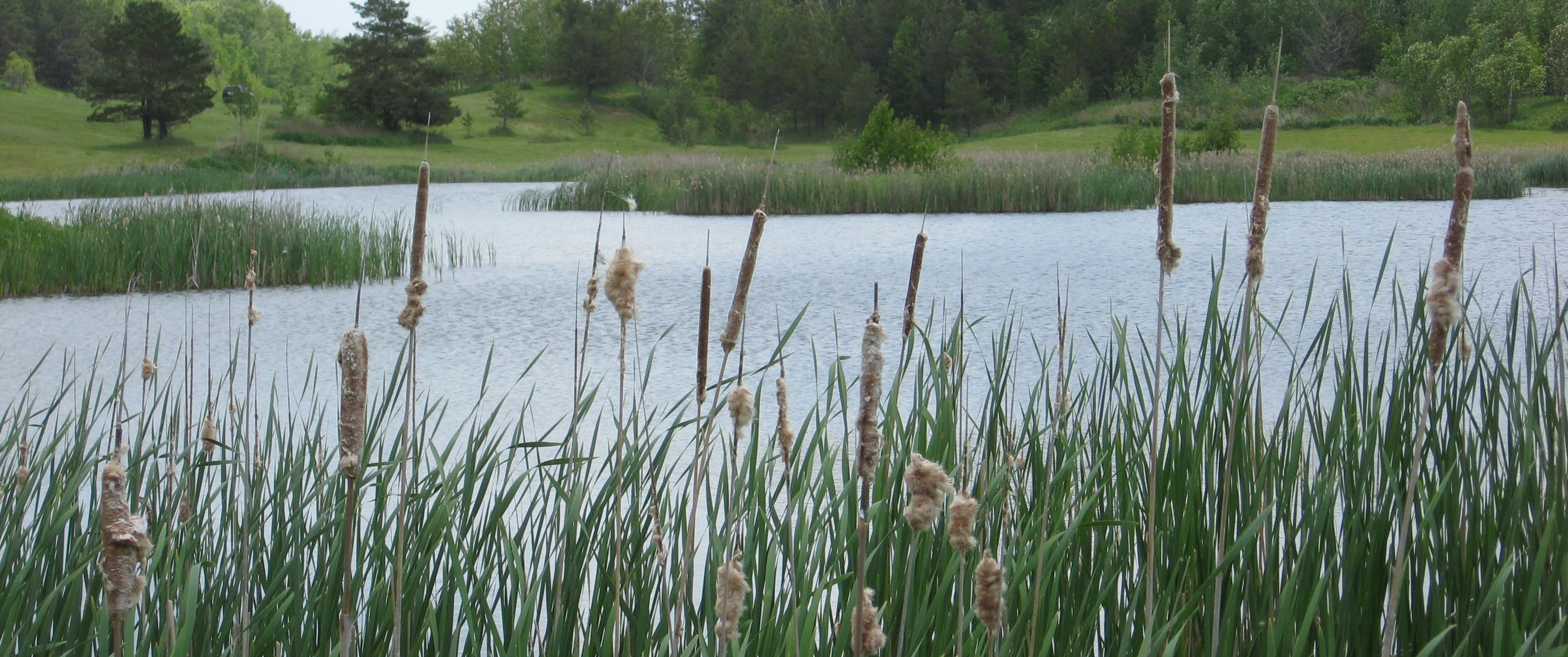 Open Water Wetlands-Cattails